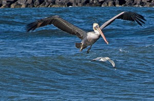 Pelican and seagull mouth of Rogue River