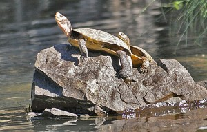Turtles on the Rogue River